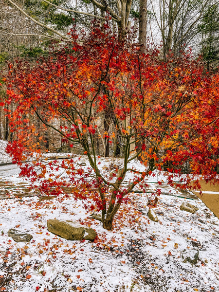 Living In Asheville Winter Snow with red fall bush surrounded by light dusting of snow